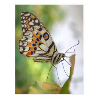 Papilio demoleus postcard