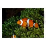 Papua New Guinea, false clown anemonefish and Cards