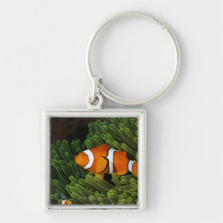 Papua New Guinea, false clown anemonefish and Keychain