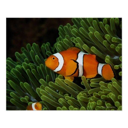 Papua New Guinea, false clown anemonefish and Poster