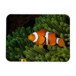 Papua New Guinea, false clown anemonefish and Flexible Magnets