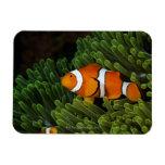 Papua New Guinea, false clown anemonefish and Rectangular Photo Magnet