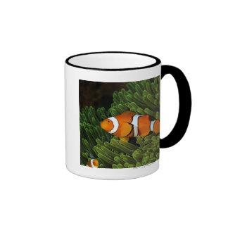 Papua New Guinea, false clown anemonefish and Ringer Mug