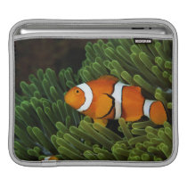 Papua New Guinea, false clown anemonefish and Sleeve For iPads