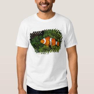 Papua New Guinea, false clown anemonefish and T Shirt