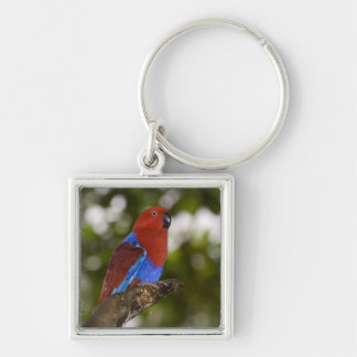 Papua New Guinea, Lae. Female Eclectus Parrot. Keychain