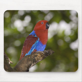 Papua New Guinea, Lae. Female Eclectus Parrot. Mouse Pad
