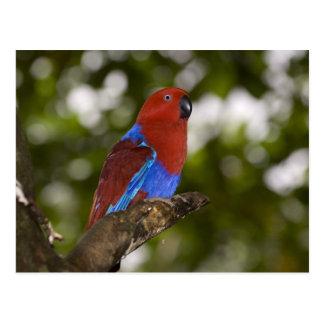 Papua New Guinea, Lae. Female Eclectus Parrot. Postcard