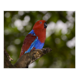 Papua New Guinea, Lae. Female Eclectus Parrot. Poster