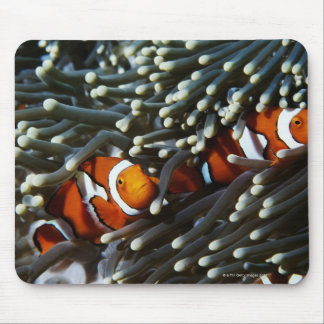 Papua New Guinea, two false clown anemonefish Mouse Pad