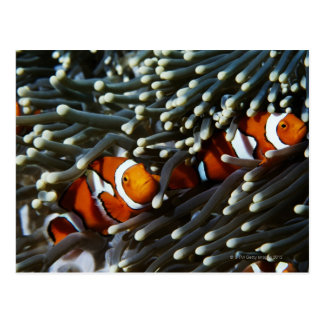 Papua New Guinea, two false clown anemonefish Postcard