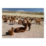 Paquete de la manada de la llama de la alpaca en tarjeta pequeña