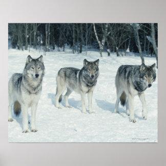 Paquete de lobos en el borde del bosque nevoso poster