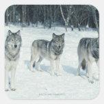 Paquete de lobos en el borde del bosque nevoso pegatina cuadrada