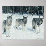 Paquete de lobos en el borde del bosque nevoso póster