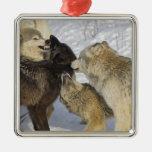 Paquete de lobos que obran recíprocamente adorno navideño cuadrado de metal