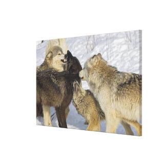 Paquete de lobos que obran recíprocamente impresión en lona