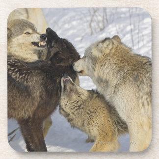 Paquete de lobos que obran recíprocamente posavasos