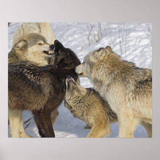 Paquete de lobos que obran recíprocamente posters