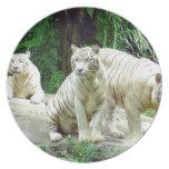 Para tigres del blanco de la mamá que esperan y de plato