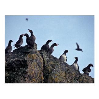 Parakeet and Crested Auklets on Hall Island Postcard