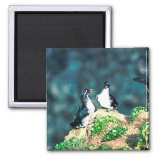 Parakeet Auklet 2 Inch Square Magnet