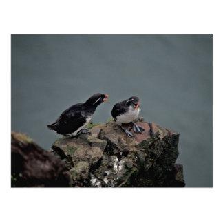 Parakeet Auklets on Hall Island Postcard