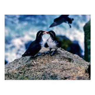 Parakeet Auklets Postcard
