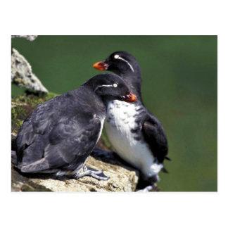 Parakeet Auklets, St. George Island, Pribilofs Postcard