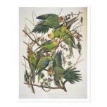 """Parakeet de Carolina, de """"pájaros de América"""", 182 Postales"""