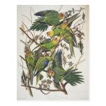 "Parakeet de Carolina, de ""pájaros de América"", Tarjetas Postales"