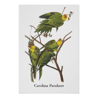Parakeet de Carolina Juan Audubon Posters