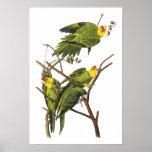 Parakeet de Juan Audubon - impresión del poster