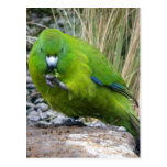 Parakeet de la isla de contrarios tarjetas postales