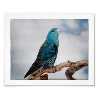 Parakeet de Lineolated Impresión Fotográfica