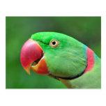 Parakeet del Alexandrine Postales