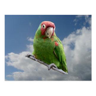 Parakeet enmascarado rojo