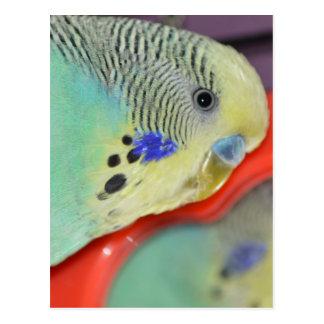 Parakeet looking in mirror postcard