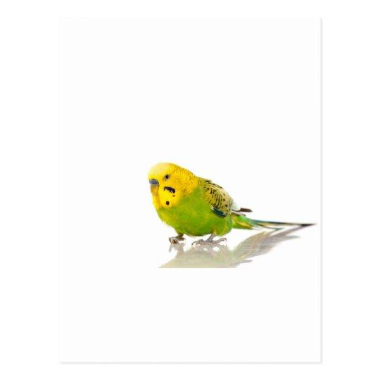 parakeet, postcard