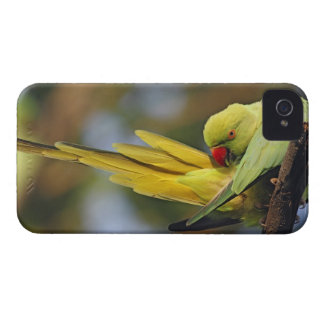 Parakeet preening, nacional de Roseringed de Keola iPhone 4 Case-Mate Cárcasas