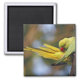 Parakeet preening, nacional de Roseringed de Keola Imán Cuadrado