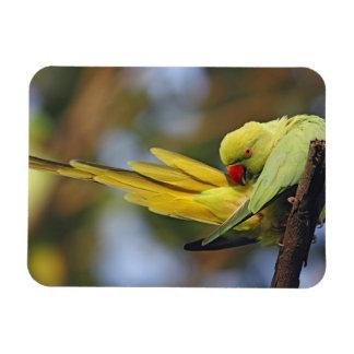 Parakeet preening, nacional de Roseringed de Keola Imanes De Vinilo