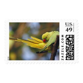 Parakeet preening, nacional de Roseringed de Sello
