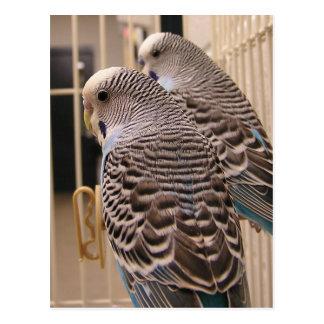 Parakeets Postcards