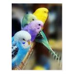 Parakeets Postcard Post Card
