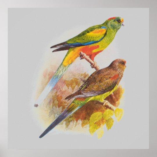 Parakeets Poster