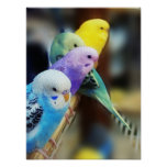 Parakeets Poster Posters