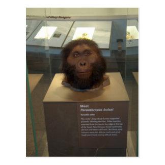 Paranthropus boisei; museum exhibit postcard