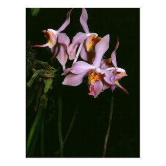Paraphalaenopsis laycockii post cards