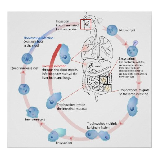 Parasitic Protozoan Entamoeba Histolytica Diagram Poster